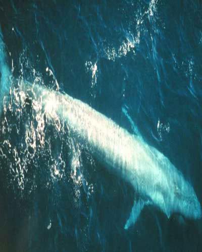 Cá voi xanh nặng 210 tấn và dài gần 40m.