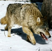 Video: Cuộc chiến giữa sói và trâu rừng