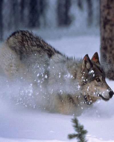 Loài sói nặng từ 70 - 76kg.