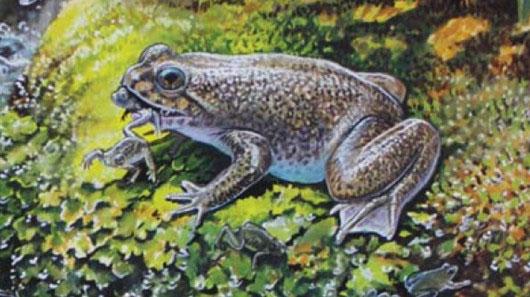 Hình ảnh về loài cóc đẻ bằng miệng mà các nhà khoa học Australia đưa ra.