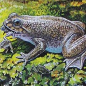 Hồi sinh loài cóc đẻ bằng miệng đã tuyệt chủng