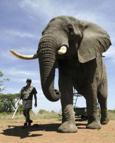 Con voi lớn nhất cao gần 4m và nặng 10,9 tấn.