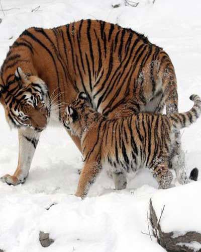 Loài hổ Siberia là loài hổ to nhất, chúng có cân nặng trung bình  khoảng 200kg. Tuy nhiên, những con đực có thể nặng đến 340kg.