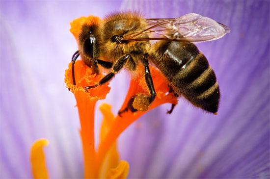 Chất độc trong nọc ong có thể được sử dụng để ngăn ngừa lây lan virus HIV.