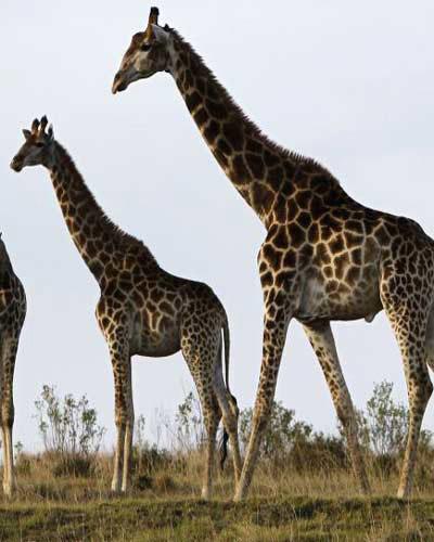 Hươu cao cổ là loài cao nhất với chiều cao tối đa được ghi nhận đến nay hơn 6m.