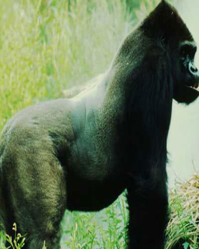 Khỉ đột nặng 390kg, cao 1,76m.