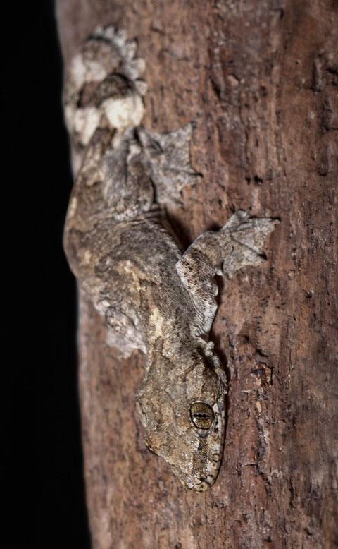 Màu sắc của lớp da này giống hệt với lớp vỏ cây nơi mà chúng sinh sống.
