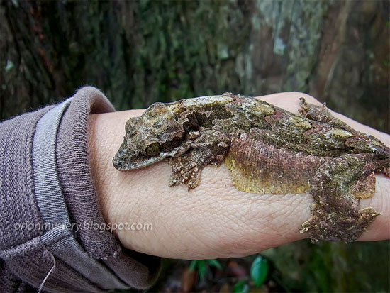Khi bị đe dọa, thạch sùng đuôi thùy thường nhảy khỏi  thân cây và dùng cánh da lượn sang thân cây khác.