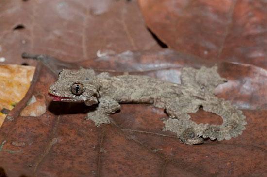 Địa bàn sinh sống của thạch sùng đuôi thùy khá hẹp, rải rác tại một số vùng ở Đông Nam Á.