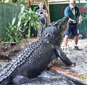 """Cassius Clay quay lại ngôi vị """"cá sấu lớn nhất thế giới"""""""