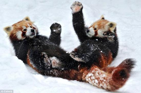 2 chú gấu ôm nhau lăn tròn trên lớp tuyết dày tại vườn thú Tiergarten Schombrunn, Viên, Áo