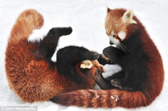 2 chú gấu vật lộn một lúc rồi nghỉ để ăn vài miếng trúc.