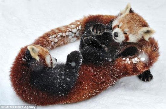 Lớp tuyết dày đã tạo ra một sân chơi cực kỳ lý thú cho 2 chú gấu.