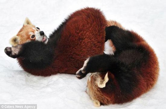 Sau 6 vòng đấu, 2 chú gấu, một đực, 1 cái cần nghỉ ngơi để lấy lại sức.