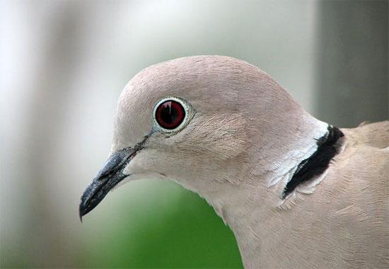 Chim bồ câu là loài dễ bắt gặp nhất ở Vatican.