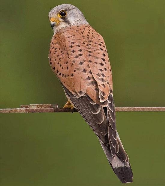 Chim cắt lưng hung là một loài chim săn mồi, thuộc nhóm chim ưng nhỏ của các họ Cắt.