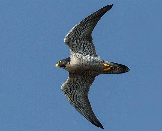 Chim ưng Peregrine là loài khá phổ biến ở Vatican. Chúng nổi tiếng là loài chim bay nhanh nhất trên thế giới. Sải cánh dài của  chúng có hình dạng mũi tên, cho phép chúng đạt tốc độ 180km/h.