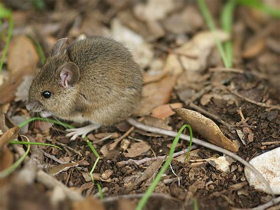 Chuột gỗ cũng được tìm thấy ở Vatican.
