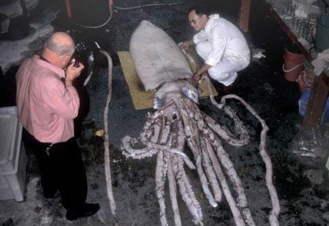 Các nhà khoa học ước tính mực khổng lồ có thể dài tới 18 mét.