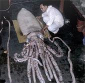 Hé lộ bí ẩn về loài mực khổng lồ