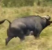 Video: Xem trâu rừng bủa vây giày xéo đàn sư tử