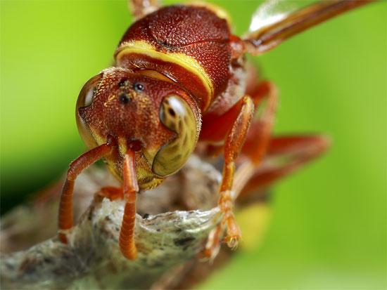 Ong bắp cày ký sinh.