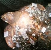 Bắt được rùa 150kg ở Quảng Ninh