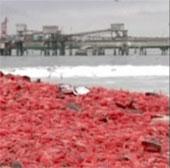 Bãi biển chuyển màu đỏ vì xác tôm