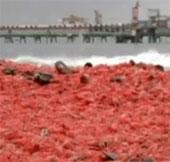 Video: Bãi biển chuyển thành màu đỏ vì xác tôm