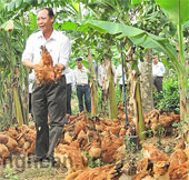 Nghệ An mở rộng nuôi gà an toàn sinh học