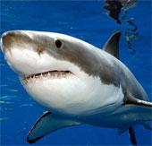 Cá mập trắng khổng lồ ăn nhiều hơn người ta tưởng