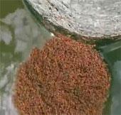 Video: Kiến lửa tạo bè nổi khổng lồ trên mặt nước