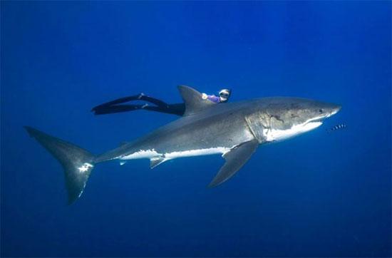 Trong bộ ảnh này, Ocean Ramsey, một chuyên gia hướng dẫn lặn, chuyên gia lặn mà không dùng thiết bị hỗ trợ, đã chụp những bức ảnh cùng cá mập trắng mà không sử dụng bất cứ một thiết bị bảo hộ nào.