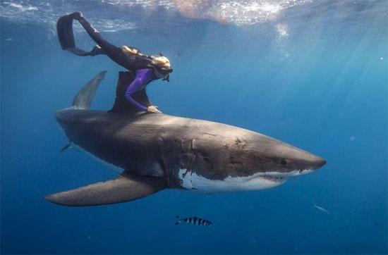 Cô cũng đã đi vòng quanh thế giới để bơi cùng các loài cá mập khác nhau mà không sử dụng thiết bị bảo vệ.