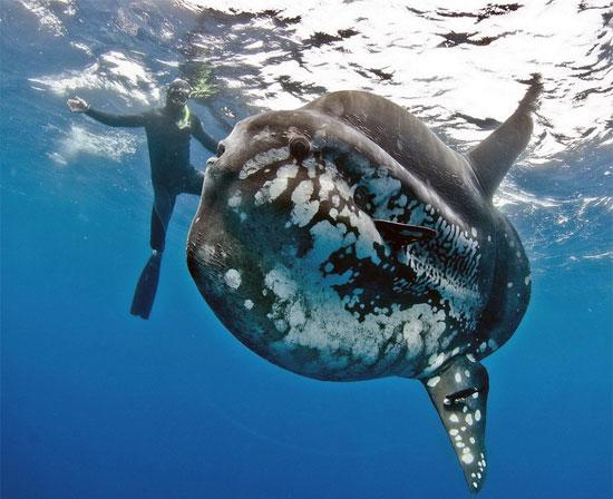 """Cùng với hình thù lạ, cá mặt trăng sở hữu một kích thước siêu """"khủng"""". Cá trưởng thành có thể dài tới 5,5m, nặng 1400kg."""