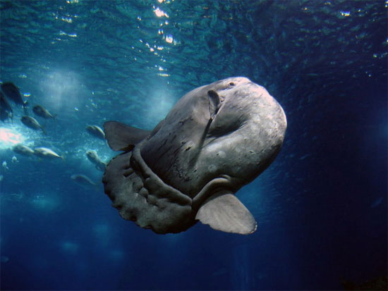 Do cấu trúc cơ thể cụt ngủn nên dù to lớn nhưng cá mặt trăng bơi rất yếu ớt. Hầu hết thời gian, chúng chỉ để cho cả khối thân mình đồ sộ trôi tự do theo các dòng nước.
