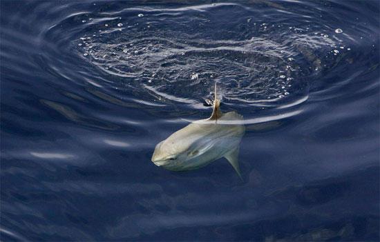 Địa bàn sinh sống chủ yếu của cá mặt trăng là các vùng biển nhiệt đới, trong đó có Biển Đông của Việt Nam.