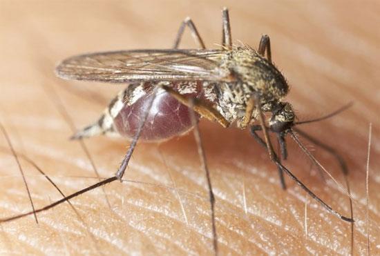 Muỗi truyền bệnh sốt rét