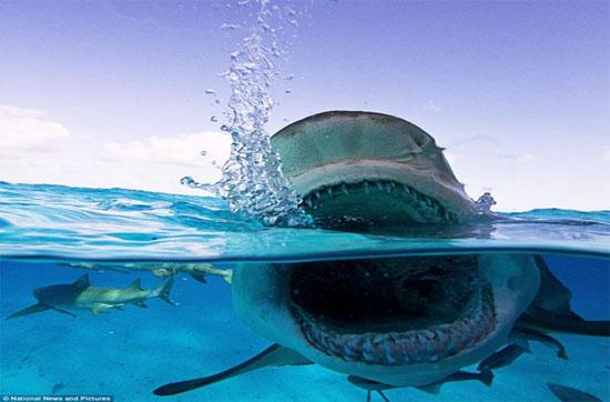 """Với tốc độ 100km/h cùng hàm răng chắc khỏe, nó xứng đáng được gọi là """"kẻ giết người"""" nguy hiểm nhất dưới đại dương."""