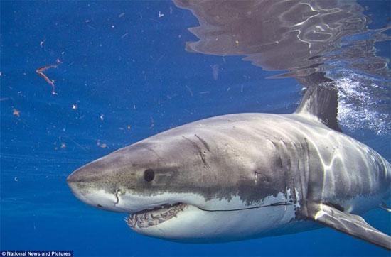 Cá mập mako vây ngắn trưởng thành dài từ 2,75 - 4m (9-13 ft) và có thể cân nặng tới 800kg (1.750 pao), có phần lưng màu ánh xanh và phần bụng màu trắng.