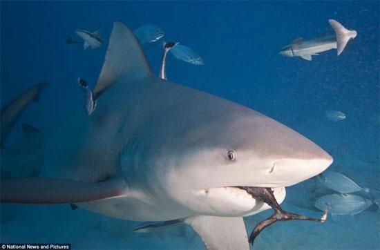 Mặc dù cả hai giới phát triển với cùng tốc độ, nhưng cá mập (mako vây ngắn) cái được cho là có tuổi thọ cao hơn và chúng cũng to và nặng hơn cá mập đực.