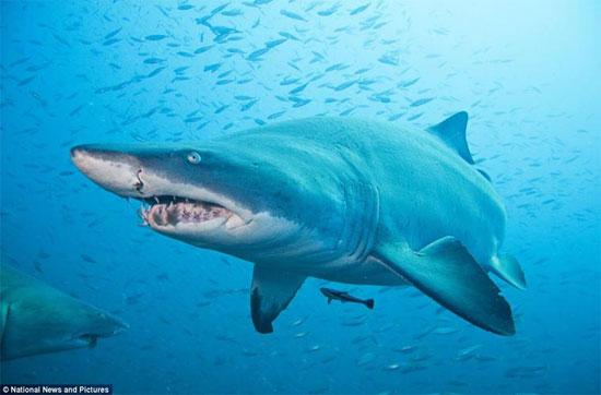 Cá mập mako vây ngắn là loài đẻ trứng thay, nghĩa là con non phát triển bằng noãn hoàn chứa trong một túi nằm trong tử cung cho đến khi được sinh ra.