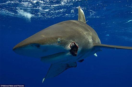 Người ta cũng nhận thấy là các bào thai của cá mập mako trong cơ thể con mẹ tiêu thụ lẫn nhau để lấy chất dinh dưỡng. Điều này được gọi là ăn thịt đồng loại trong tử cung.