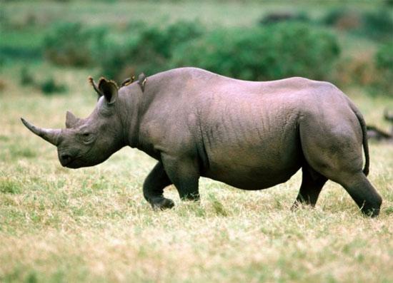 Nhiều tổ chức cho rằng, Việt Nam là thị trường chính tiêu thụ sừng tê giác ở Nam phi. Cơ quan  CITES Việt Nam phủ nhận thông tin này. Trên hình là một con tê giác đen trên đồng cỏ tại Nam Phi.