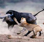 Video: Kỳ lạ cảnh trâu điên đuổi sư tử chạy loạn