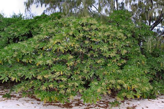 Cây phong ba (Heliotropium foertherianum) là một loài thực vật bản địa xuất hiện tại các hòn đảo và vùng ven biển nhiệt đới trải dài từ đảo Madagascar trên Ấn Độ Dương đến Đông Nam Á và các quần đảo thuộc châu Đại Dương.