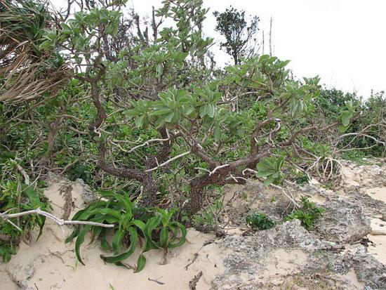 Đây là loài thực vật thân gỗ nhỏ, cao trung bình 3-6m, có lá xanh quanh năm, thường mọc ở những nơi đất cát.
