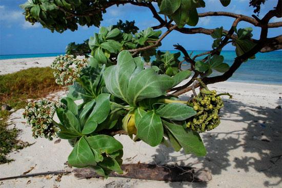 Một số cây phong ba cổ thụ có thể đạt chiều cao tới 10-15m.