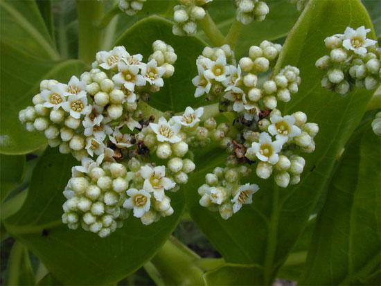 Hoa phong ba nhỏ 5mm, có màu trắng, mọc thành chùm đầu cành.