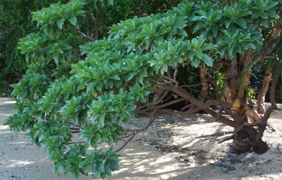 Phong ba là loài cây phát triển rất chậm, cây trưởng thành sau 10 năm chỉ cao 3-4m.